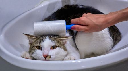 Female hand cleaning a multi colored cat with a roller in the sink animal portrait