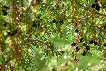 Dark blue ripe juniper berries growing on the tree branch, shining under the beautiful sunlight close-up Standard-Bild