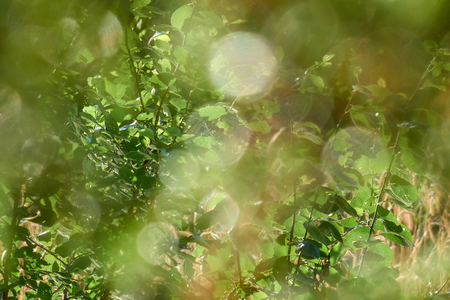 Fresh green leaves shining under sunrays beautiful out of focus natural background
