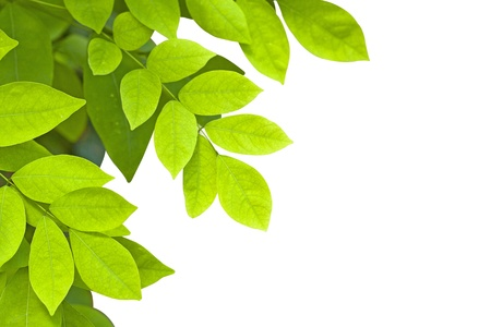 Green leaves on a white background. Stock Photo