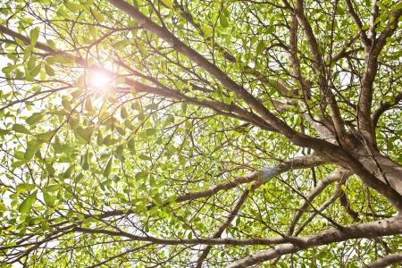 Terminalia ivorensis Chev Stock Photo