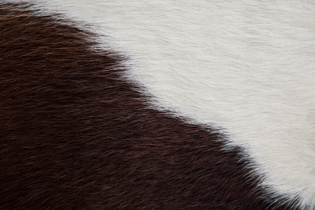 Texture  skin of cow using as background