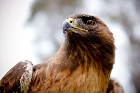 captive animal: Hawk