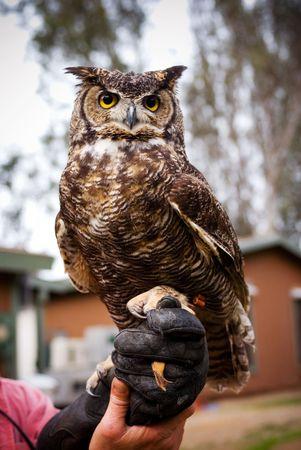 Great Horned Owl 版權商用圖片
