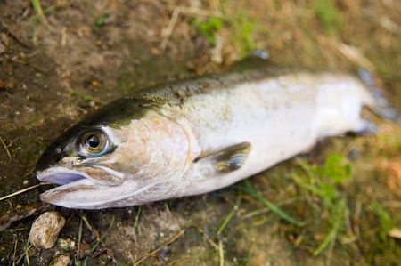 A caught trout laying on the ground. Reklamní fotografie