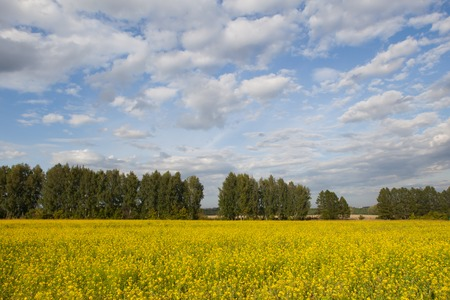 raps: View at rural summer raps field with cloudy skies