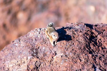 White-tailed antelope squirrel seats on the red rock. Blurred desert background.