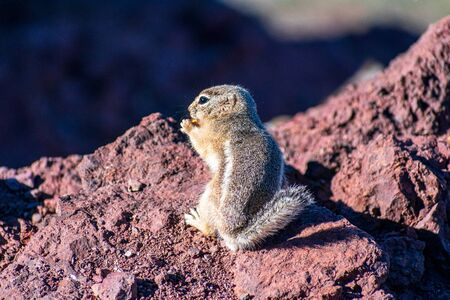 Close up. White-tailed antelope squirrel eats food standing on hind legs.