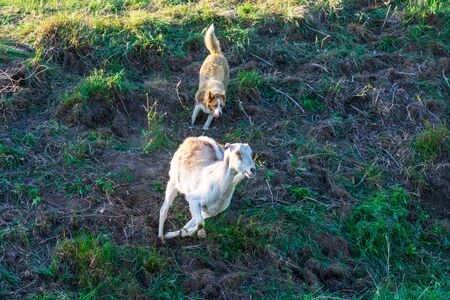 Herding dog working with the goat on the field by directing the fast running goat back to the herd.