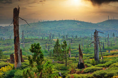Forest restoration and regrown several years after a wildfire. Dramatic sunset over green hills covered with shrubs and young trees growing between dead trunks of charred forest trees. Foto de archivo