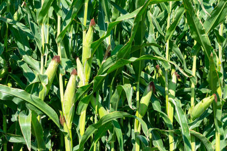Close up. Green corn stalks with ears and leaves.