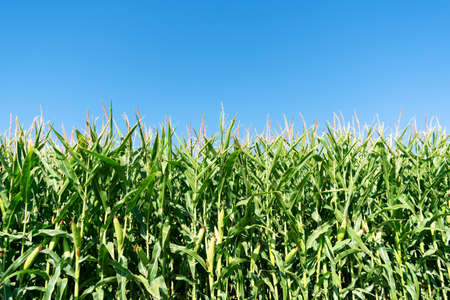 Stalks of green corn with ears and leaves on an industrial agriculture field against the background of the blue sky.