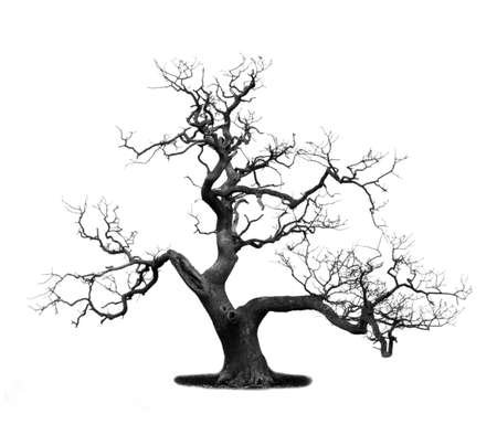 Árbol muerto aislado en blanco