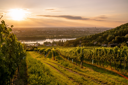 Vineyard at Kahlenberg village near Vienna at sunrise