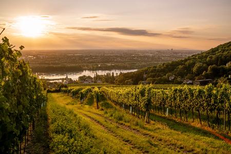 Vineyard at Kahlenberg village near Vienna at sunrise