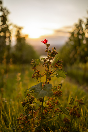 A flower in a vineyard during sunrise