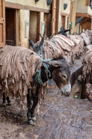 Donkeys are used inside the tanneries of Fes to transfer leather, Morocco