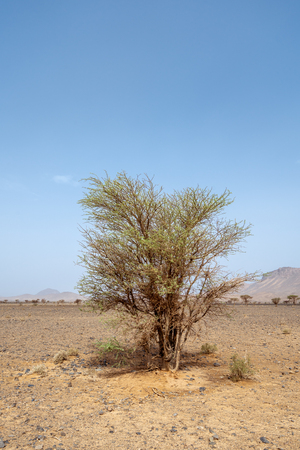 Green trees in the middle of the stone desert of the Atlas mountain range in Morocco