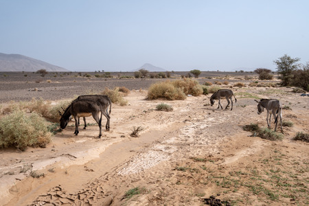 Donkeys are feeding of the green bits of the desert in Morocco
