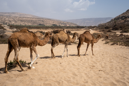 Three camels are walking by at Plage Tamri near Agadir, Morocco