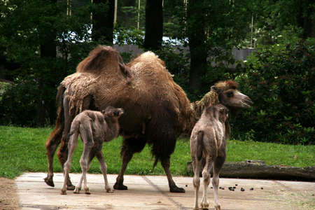 Two  camels with one parent photo