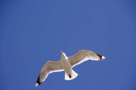 birdlife: A backlit seagull flying up