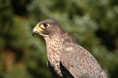 A buzzard looking for prey photo