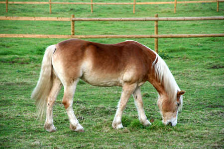 A horse grazing in the field photo