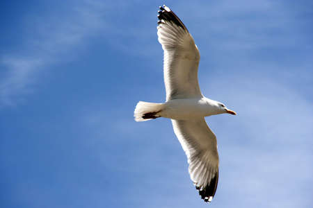 A seagull in the blue sky, backlit photo