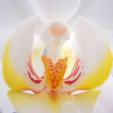 vulva: white orchid closeup