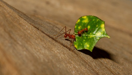An ant carrying a leaf  photo