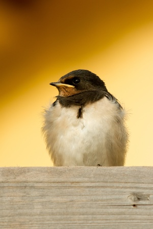 A young swallow is resting photo