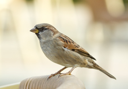 A sparrow is standing on a chair Stock Photo - 11694259