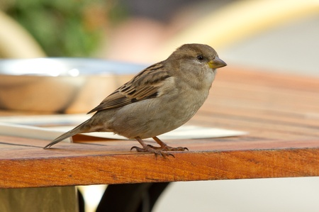 A sparrow is standing on a table photo