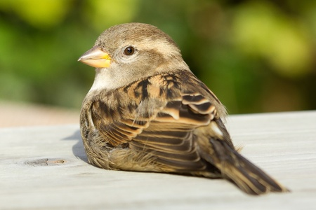 A sparrow is sitting on a table Stock Photo - 11694251