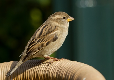 A sparrow is standing on a chair photo