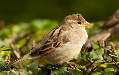 A sparrow is standing on a hedge photo