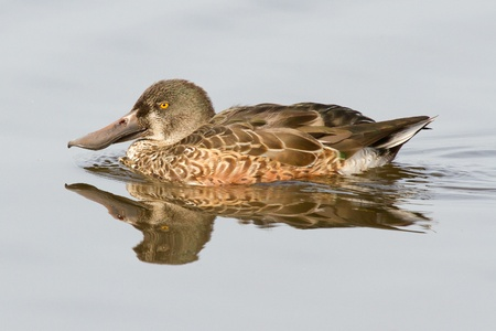 bedraggled: A duck in the water