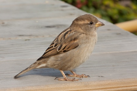 A sparrow is standing on a table Stock Photo - 11694255