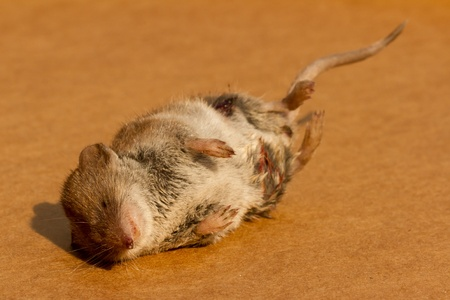A mouse who fell victim to a cat  photo