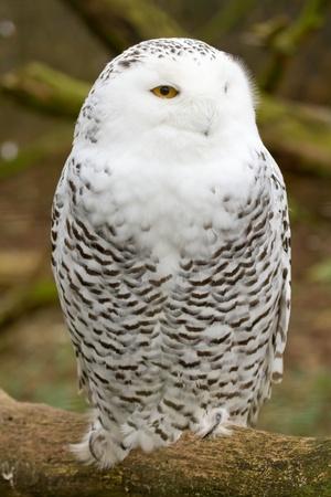 A snow owl in captivity  photo