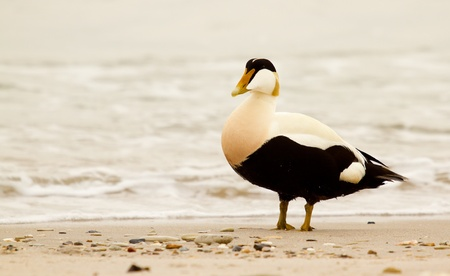 A duck on a beach at the northsea  photo