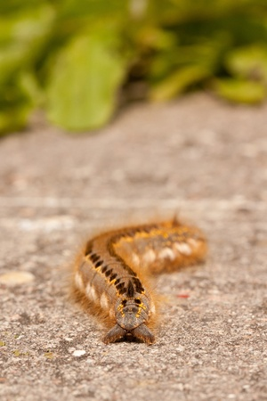 euthrix potatoria: A caterpillar on a stone  Stock Photo