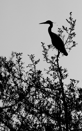 A heron in a tree photo