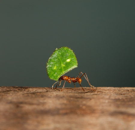 An leaf cutter ant is carrying a leaf  photo