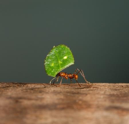 hormiga: Una hormiga cortadora de hojas est� llevando a una hoja