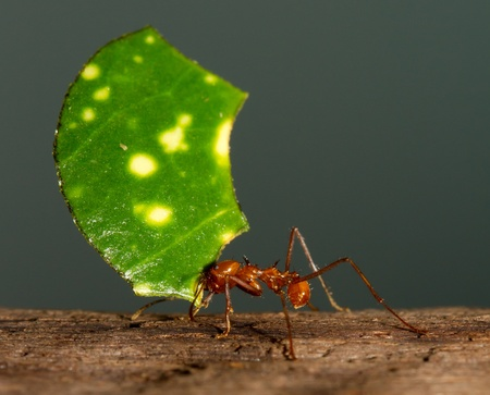acromyrmex: An leaf cutter ant is carrying a leaf