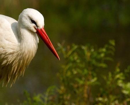 ciconiiformes: A stork in a green field