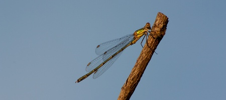 Dragonfly on a branch Stock Photo - 11694271