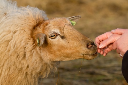 A sheep with a womans hand photo